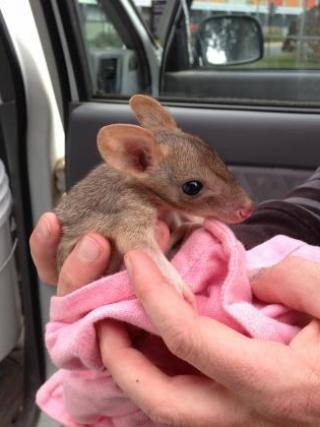 A baby bettong. Photo by Adrian Manning.